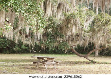 Spanish Moss hanging from trees, over a picnic table - stock photo