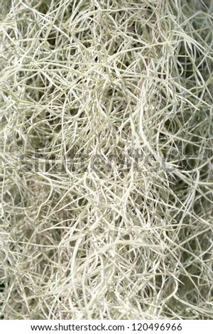 Spanish Moss texture - stock photo