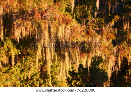 Spanish Moss (Tillandsia usneoides) grows thick in the forest of central Florida. - stock photo