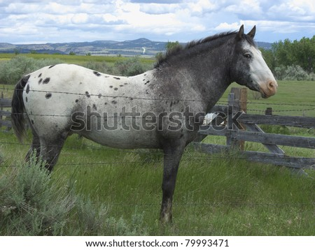 Spanish Mustang Appaloosa Stallion standing in green pasture - stock photo
