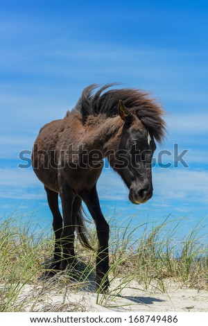 spanish mustang wild horse on the dunes in north carolina - stock photo