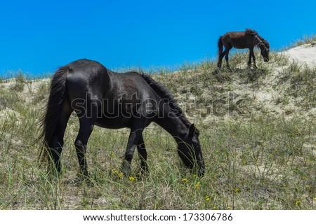 spanish mustangs wild horses on the dunes in north carolina - stock photo