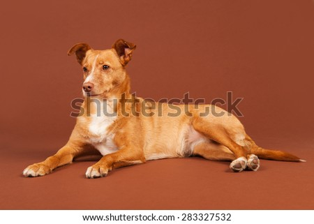 Spanish Podenco Andaluz on beige background - stock photo