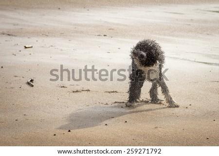 Spanish Water Dog at the Beach - stock photo