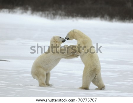 Sparing. The polar bears fighting on snow which have got up on hinder legs.