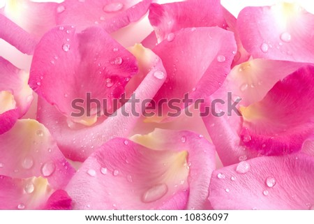 Sparkling dew drops rest on softly textured pink rose petals. - stock photo