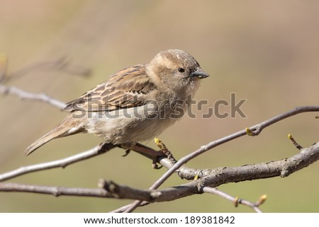 sparrow eats buds on a branch in spring