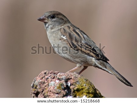 Sparrow, English Sparrow, House Sparrow, wildlife, Passer domesticus - stock photo