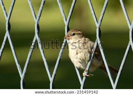 Sparrow on a fence with green background - stock photo
