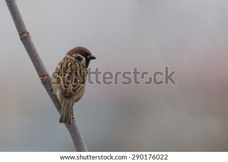 Sparrow on a tree branch - stock photo