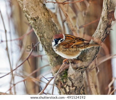 sparrow on branch in cold winter day