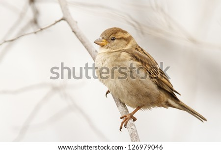 Sparrow on branch in winter time - stock photo
