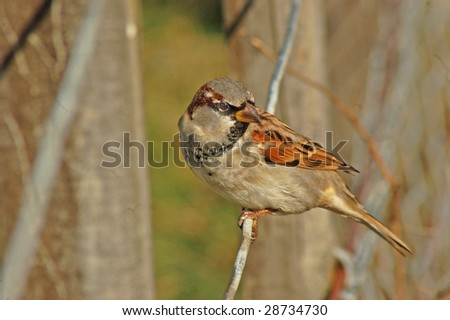 Sparrow (passer domesticus) on fence wire - stock photo