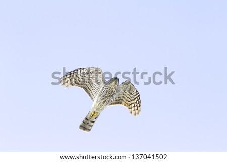 sparrowhawk female  in flight (Accipiter nisus) - stock photo
