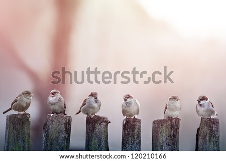 sparrows in a row on wooden fence - stock photo