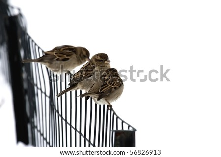 Sparrows on a fence. - stock photo