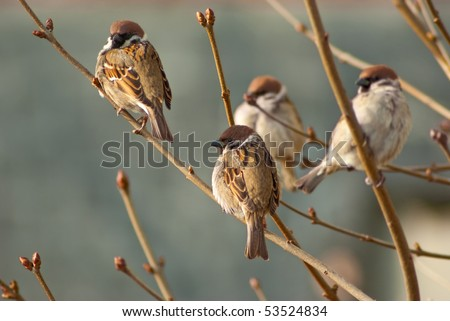Sparrows on the tree branch