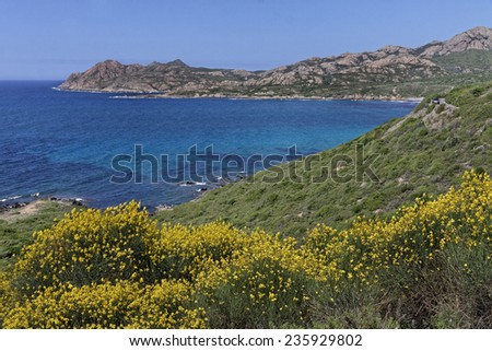 Spartium junceum, Spanish broom, Weavers broom near Ile Rousse, Balagne, Northern Corsica, France - stock photo