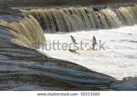 Spawn on the mountain river - stock photo