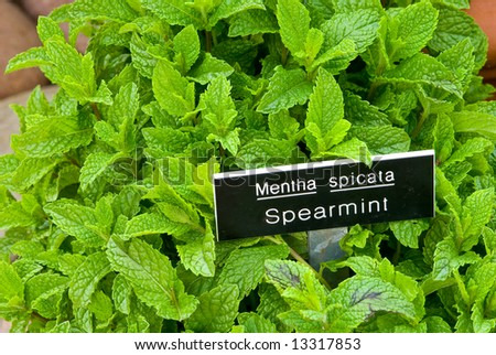 Spearmint with Label