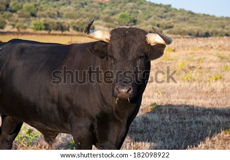 Specimen of Spanish free range  Fighting Bull breed free-range on extensive estates. Fighting bulls are selected for a certain combination of aggression, energy, strength, and stamina