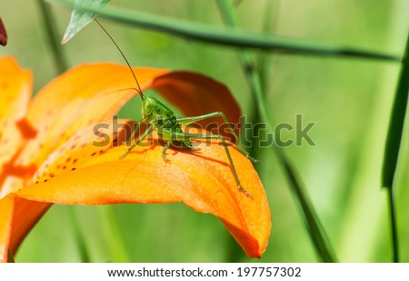 Speckled bush cricket  - stock photo