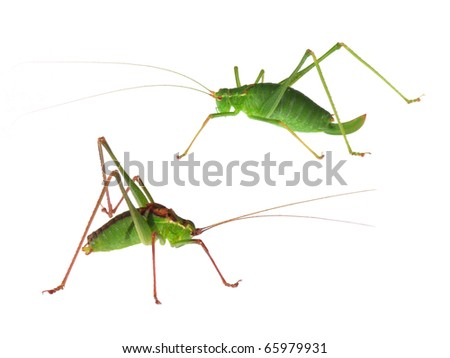 Speckled Bush-Cricket (Leptophyes punctatissima) isolated on white - stock photo