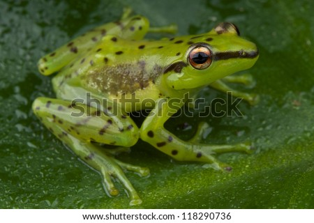 Speckled glass frog / Mantidactylus pulcher