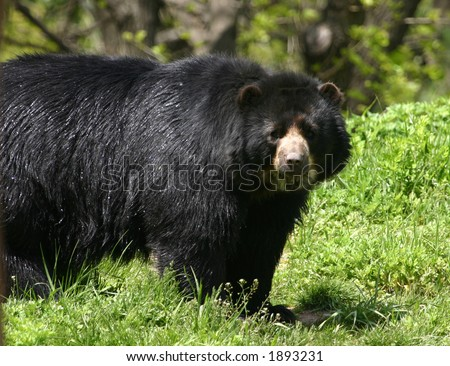 Spectacled bear (Tremarctos ornatus)  (captive)