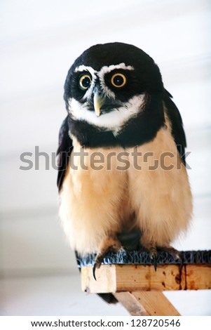 Spectacled Owl - stock photo