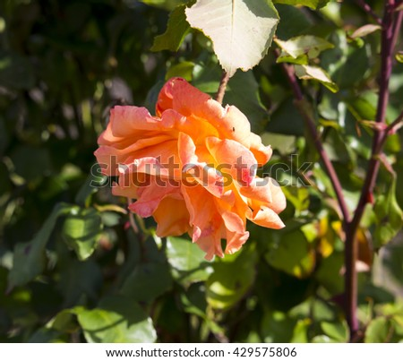Spectacular perfumed   magnificent  beautiful golden yellow  and orange  hybrid tea roses blooming in  late autumn  adds fragrant charm to the garden scape  with  their  lovely form and shape. - stock photo