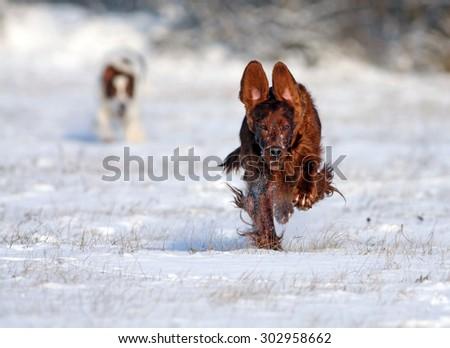 Speedy Irish Setter running to the camera  - stock photo