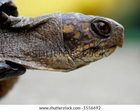 Speedy the Box Turtle - stock photo