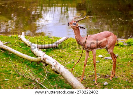 Speke's gazelle (Gazella spekei), the smallest of the gazelle species from the Horn of Africa, feeds on a small tree branch. - stock photo