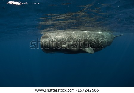 Sperm Whale - stock photo