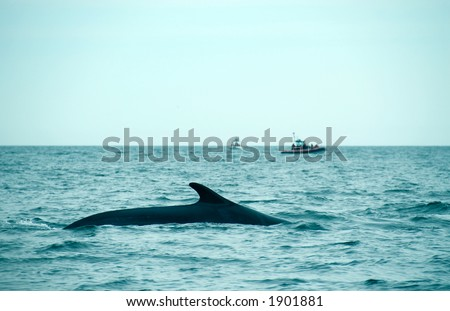 sperm whale in the St-Laurence - stock photo