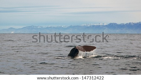 Sperm Whale, Kaikoura, New Zealand - stock photo