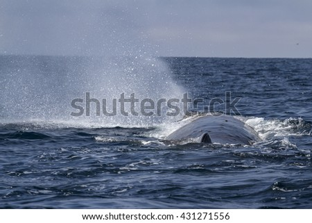 sperm whale produces a fountain of water before diving in the Pacific Ocean