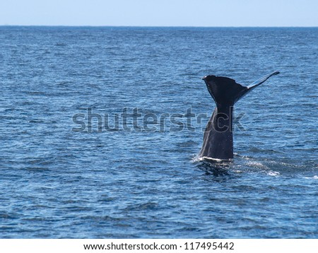 Sperm Whale showing its flukes as it dives, Vesteralen,  Norway - stock photo