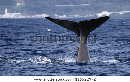 Sperm whale starts a deep dive - near shore waters south of Lajes do Pico (Pico Island, Azores) 01
