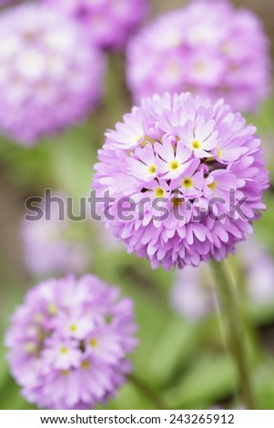 spheric primula in bloom, close up spring photo - stock photo