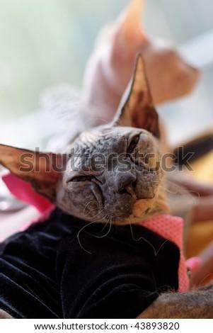 Sphinx cats - stock photo
