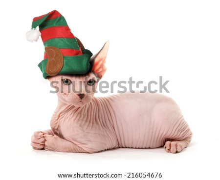 sphinx elf cat - stock photo