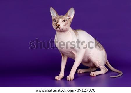Sphinx on purple background - stock photo