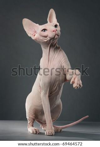 Sphynx cat - stock photo