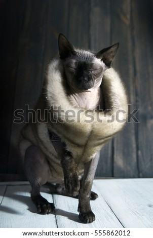 Sphynx cat in boa. Concept in the style of the 20s. Lady gangster. Portrait of Sphynx cat closeup