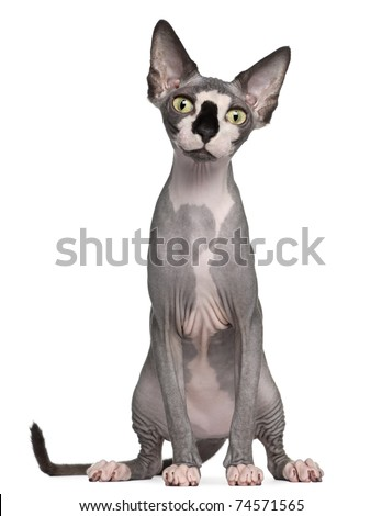 Sphynx cat, 8 months old, sitting in front of white background