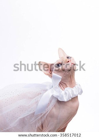 Sphynx cat with bridal veil around neck sitting on white background in the studio - stock photo