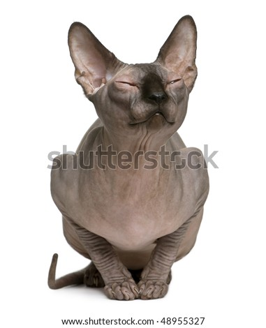 Sphynx cat with eyes closed, 1 year old, sitting in front of white background - stock photo