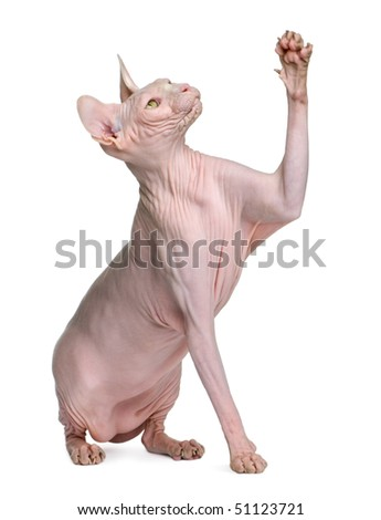 Sphynx cat, 1 year old, sitting in front of white background with paw up - stock photo